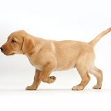 Cute Yellow Labrador puppy walking