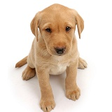 Cute soulful Yellow Labrador puppy