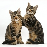 Tabby cats together, one with paws up on the other