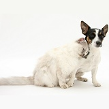 Birman cat friendly with Jack Russell