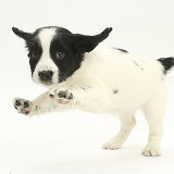 Playful Springer Spaniel puppy jumping up