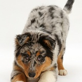 Australian Shepherd pup in play-bow
