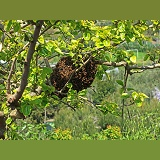 Swarm of bees in a mulberry tree