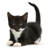 Playful black-and-white kitten