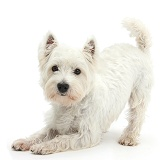 Westie in play-bow