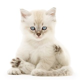 Birman-cross kitten sitting back