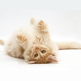 Red silver Turkish Angora cat lying on back