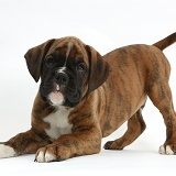Boxer puppy, 8 weeks old, in play-bow