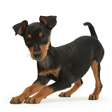 Playful Miniature Pinscher puppy
