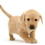 Cute playful Yellow Labrador puppy standing