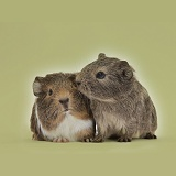 Two young Guinea pigs on khaki background