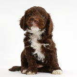 Chocolate Cockapoo puppy