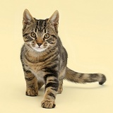 Tabby kitten prowling on yellow background