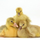 Three Embden x Greylag Goslings
