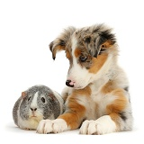 Tricolour merle Collie puppy and Guinea pig