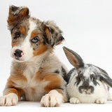 Tricolour merle Collie puppy and bunny