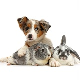 Tricolour merle Collie puppy with Guinea pig and bunny