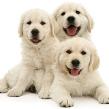 Three happy Golden Retriever pups