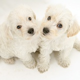 Cute Woodle puppies looking up