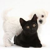 Cute white Bichon x Yorkie puppy and black cat