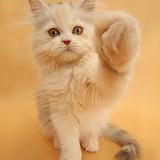 Bro Fist Persian kitten