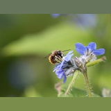 Red Mason Bee male visiting Green Alkanet