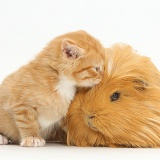 Ginger kitten, 5 weeks old, and Guinea pig