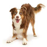 Sable-and-white Mini American Shepherd in play-bow