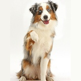 Merle-and-sable Mini American Shepherd presenting a paw