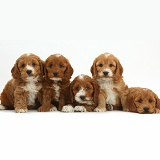 Five cute Cockapoo puppies in a row