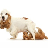 Cocker Spaniel mother and suckling puppy