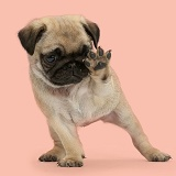 Playful Pug puppy - talk to the paw!
