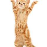 Ginger kitten dancing YMCA
