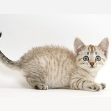Playful Sepia tabby Bengal-cross kitten