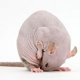Sphynx Rat grooming in a rude rat-arsed way