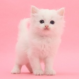White kitten standing on pink background