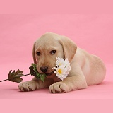 Yellow Labrador Retriever pup with white daisies