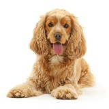 Golden Cocker Spaniel dog