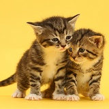Cute baby tabby kittens on yellow background