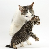 Mother cat carrying her kitten