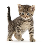 Cute tabby kitten standing with paw off the ground