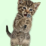 Small tabby kitten, holding and singing into microphone