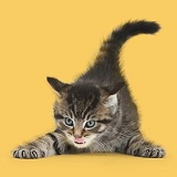 Cute playful tabby kitten, on yellow background