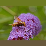 Hornet Hoverfly on Buddleia