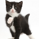 Black-and-white kitten with raised paw