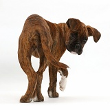 Boxer puppy turning and looking round