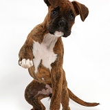 Brindle Boxer puppy with raised paw