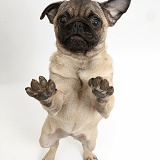 Pug puppy standing on hind legs, paws raised