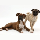 Pug puppy with Boxer puppy