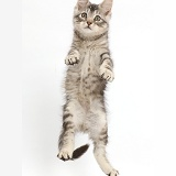 Silver tabby kitten jumping up